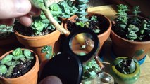 Succulents Rooting in Water & New Crassula Cuttings