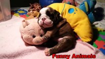 Funny Animals - Cute Dogs falling asleep - Funny Dogs compilation 2016