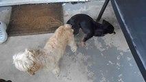 2 chiens coincés l'un DANS l'autre !! A vouloir faire des petits..