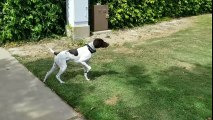 German Shorthaired Pointer doing what they do...