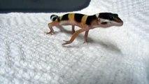 Le cri de ce petit lézard Gecko est impressionnant. Ecoutez...