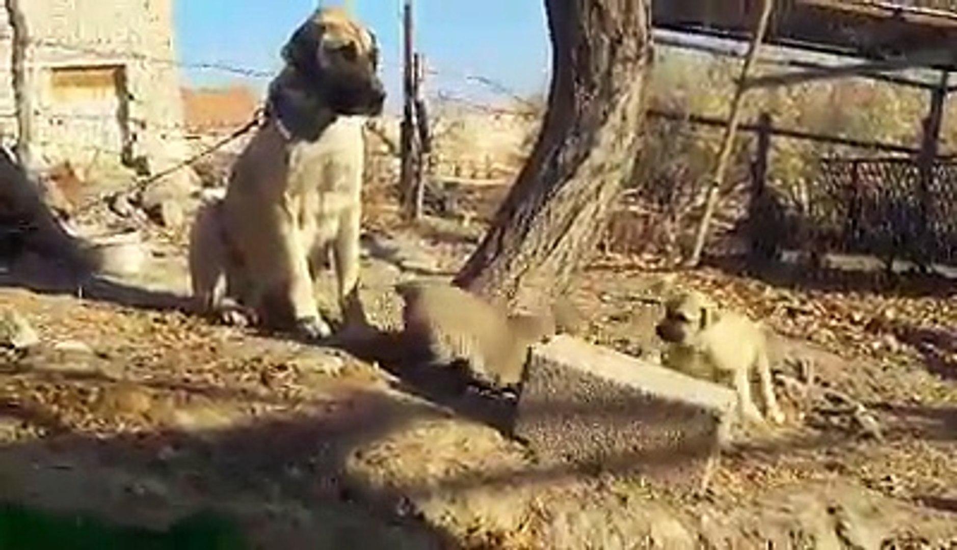 COK SiRiN ANADOLU COBAN KOPEK YAVRUSU - VERY CUTE ANATOLiAN SHEPHERD PUPPY DOG