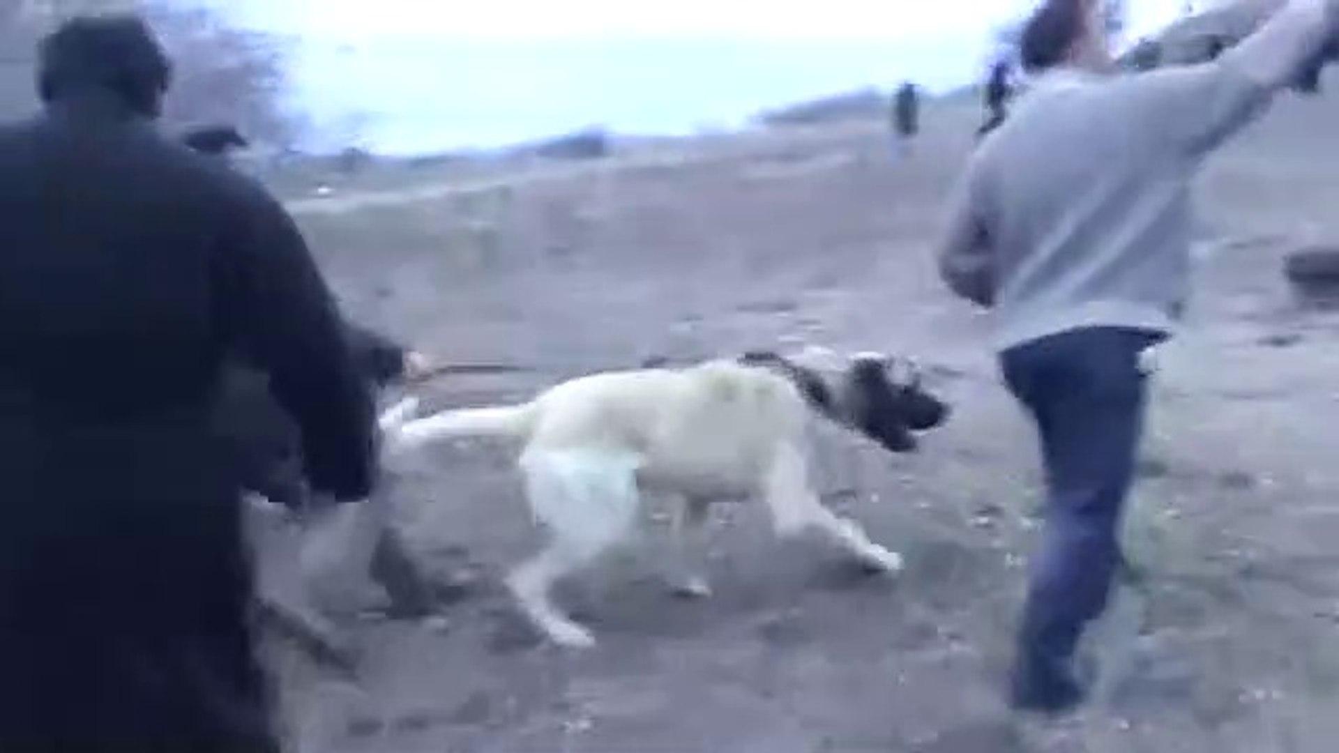 YUKSEK AKSARAY MALAKLI KOPEGi - ANATOLiAN SHEPHERD DOG MALAKLI