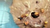 Il s'amuse à tapper sur un nid de frelons asiatique pour les enerver... Dangereux!