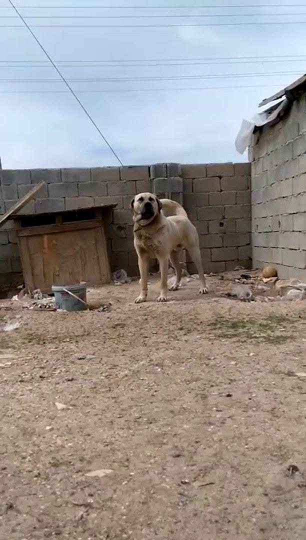 ANADOLU COBAN KOPEGiNi KIZDIRMACA- ANGRY ANATOLiAN SHEPHERD DOG