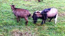 Epic Funny & Adorable GOATS!! Doing Totally Random & Wierd Stuff!! Just what is on their minds!!