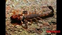 Escorpiones – Escorpion: ESCORPIONES GIGANTES – El escorpion mas grande del mundo