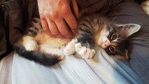 Helfina coons : NINO chaton Maine coon de 8 semaines