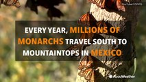 What is the great monarch butterfly migration?