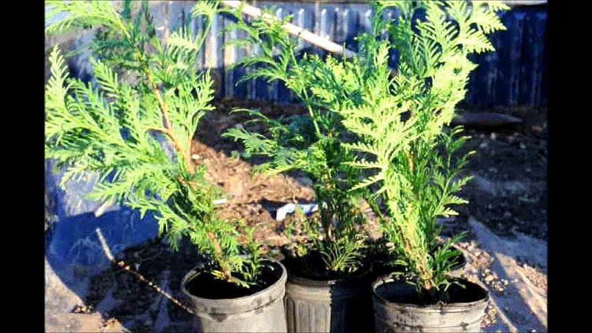How to plant 1 gal Green Giant Arborvitae
