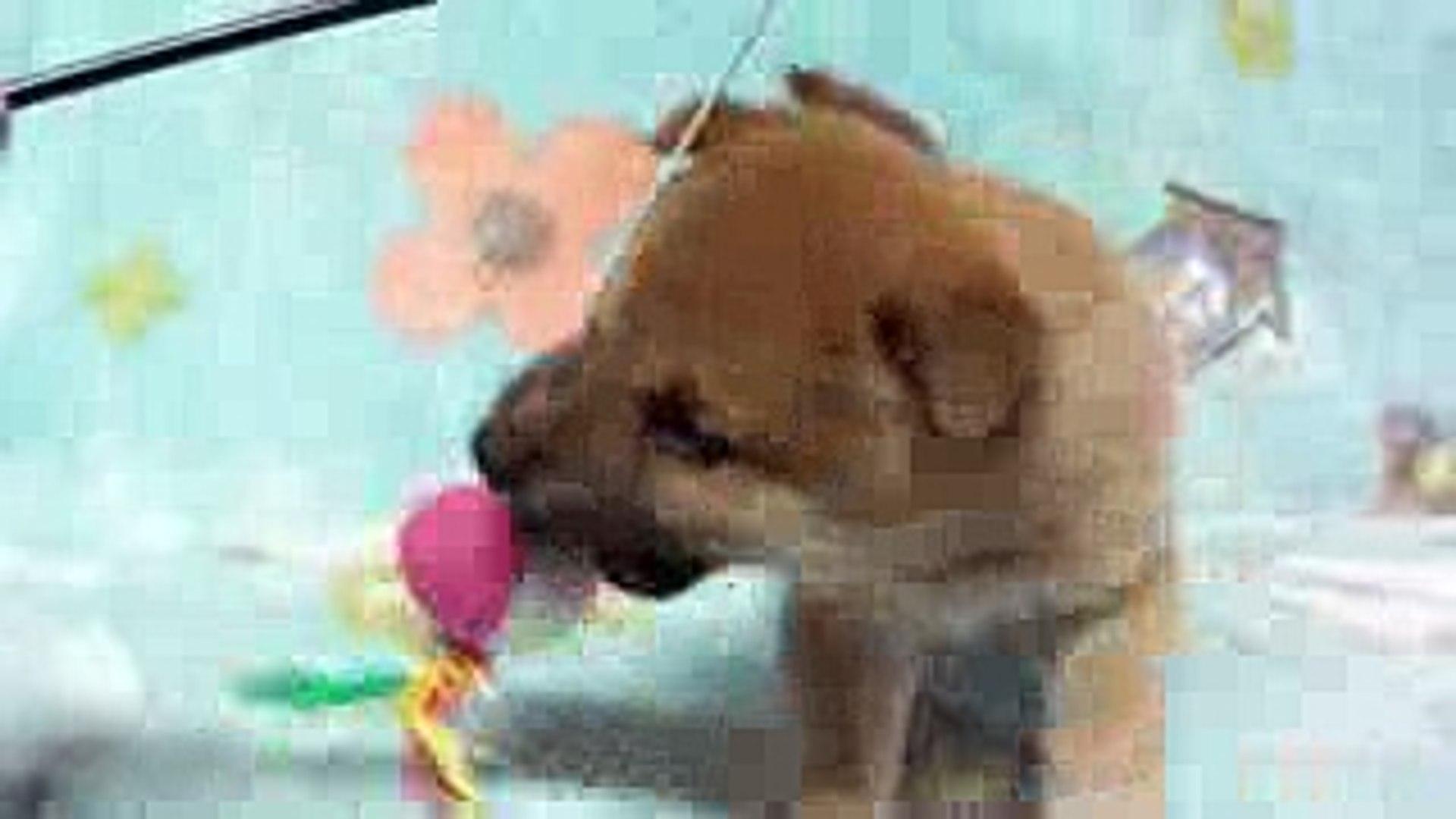 和風総本家 豆助 9代目の同体犬 兄弟犬 トモの長男 Video Dailymotion