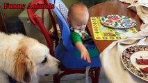 Great Pyrenees playing with Baby compilation - Baby Love Great Pyrenees - Dog and Baby videos