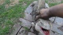 Quand il rentre du travail son iguane apprivoisé le salue comme un chien