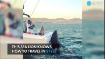 Sea Lion Gets On A Boat Lured By A Big Fish.