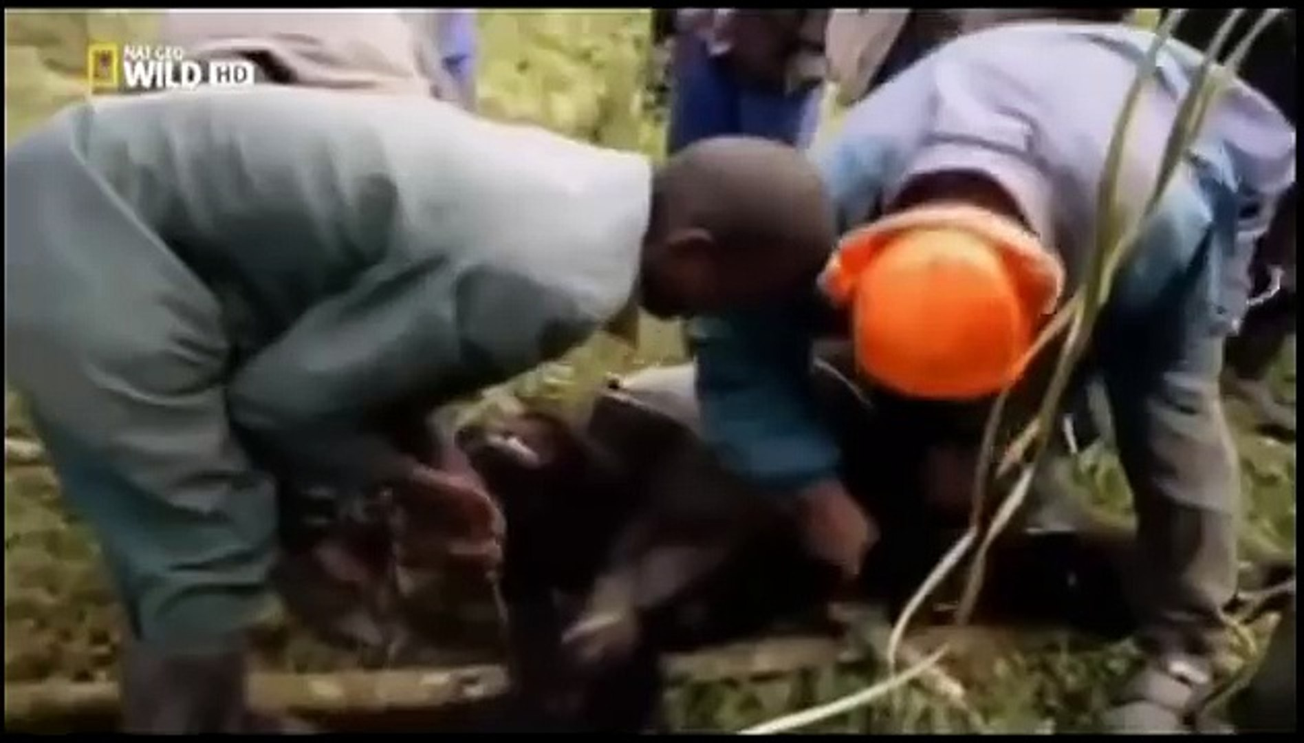 Gorilas de Montaña _ Documental Nat Geo Wild