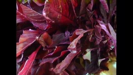 Benefits Of Amaranth Leaves Chaulai