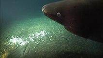 Ces scientifiques capturent les images rares d'un requin dormeur à 1325m de profondeur dans un volcan sous marin actif