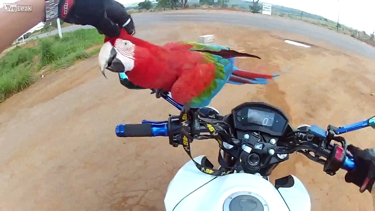 macaw who likes motorcycles