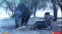 Rinoceronte vs Jabalí Sorprendente vs León.El Ataque Más Increíble de Animal