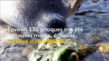 Russie : 130 phoques retrouvés morts au bord du lac Baïkal