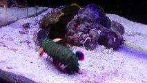 La force de cette crevette est incroyable : crevette-mante surpuissante