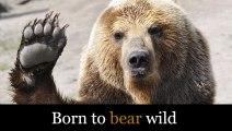 Bear travelling in sidecar ! Urso filmado a passear em mota com sidecar na Rússia