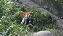 Un tigre attaque une soigneuse du zoo - 06/11/2017