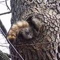 Cet écureuil a un peu trop mangé avant l'hiver... Et ne rentre plus dans son trou