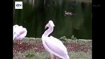How Pelican hunted Pelicans eat Animals 어떻게 펠리칸 사냥