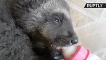 Not So 'Lone Wolf' - Orphaned Wolverine Finds New Home at Russian Zoo