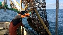 Pêche à la coquille Saint-Jacques, en baie de Saint-Brieuc