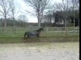 Cheval hongre gris cheval éq
