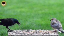 BIRDS VIDEO FOR CATS TO WATCH - Garden Birds #3. Common Grackle, Winged Blackbird, Sparrows, Doves.