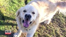Meet The Golden Retriever With Two Noses-CVzcPdy35Hk