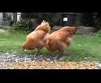 芝生を食べる若雌鶏~145日目のニワトリの幼馴染は、仲良くお散歩~