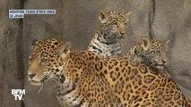 Ces deux bébés jaguars font leurs premiers pas au zoo de Houston