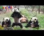 Cute Funniest Panda Videos Compilation 2017  NEW HD