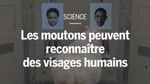 Des scientifiques entraînent des moutons à reconnaître des visages humains