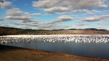 10,000 Snow Geese Taking Off Together