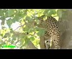 Leopard vs Impala - Leopard Jumps From Tall Tree To Ambush Prey