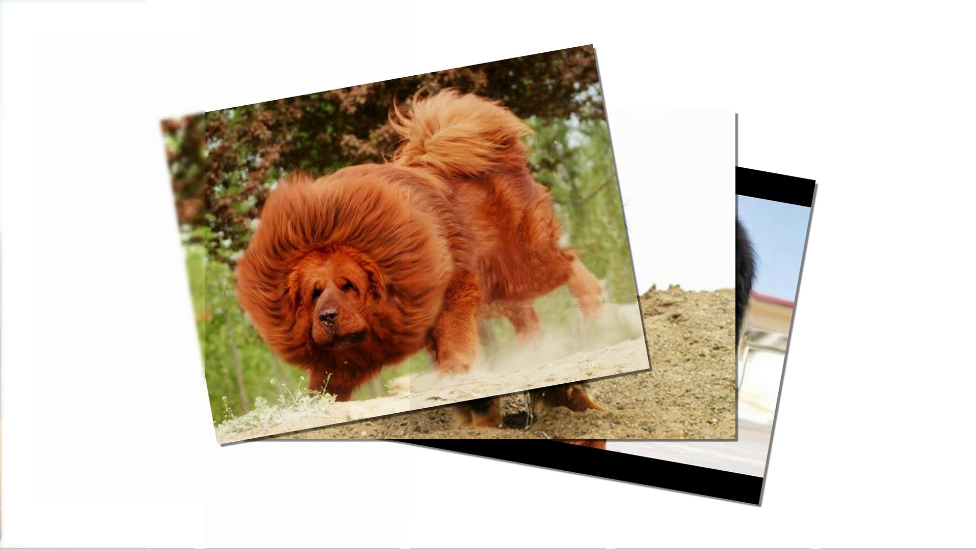 Tibetan Mastiff dogs - One of the huge dogs come from China. Do you afraid  them ?