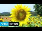 혹독한 불볕더위 속 가을꽃 활짝   YTN (Yes! Top News)