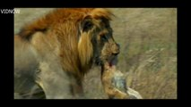 lion cubs killed by male lion