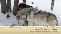 Regardez un peu la taille de ce loup qui fait des calins à sa dresseuse