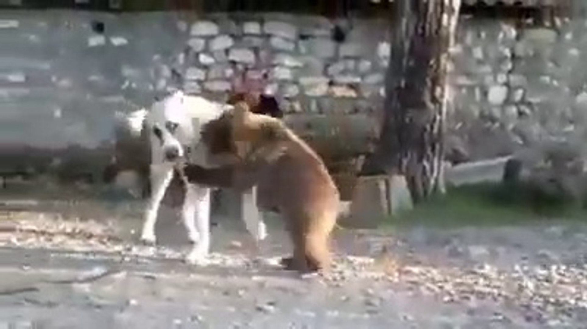 COBAN KOPEGi ALA ve YAVRU AYI -  SHEPHERD DOG and PUPPY BEAR