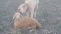 SiVAS KANGAL COBAN KOPEGi KOYUN BAKIMI - ANATOLiAN SHEPHERD KANGAL DOG SHEEP CARE