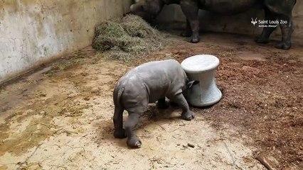 Un bébé rhinocéros super mignon s'entraîne à charger !