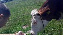 "Bosanac kupio kravu iz Nemačke – Njegov ""razgovor"" sa njom će vas nasmejati do suza…"