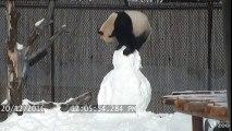 Ce panda géant défonce un Bonhomme de neige dans son zoo !