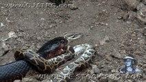 Ce serpent indigo avale un python... Impressionnant